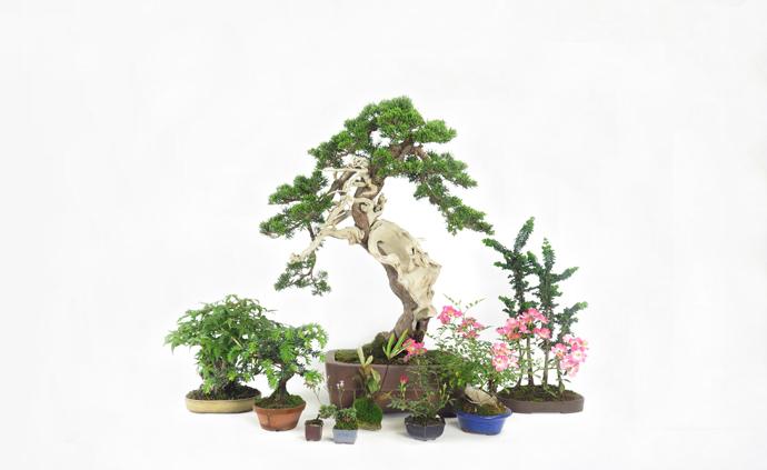 Catálogo de Bonsai