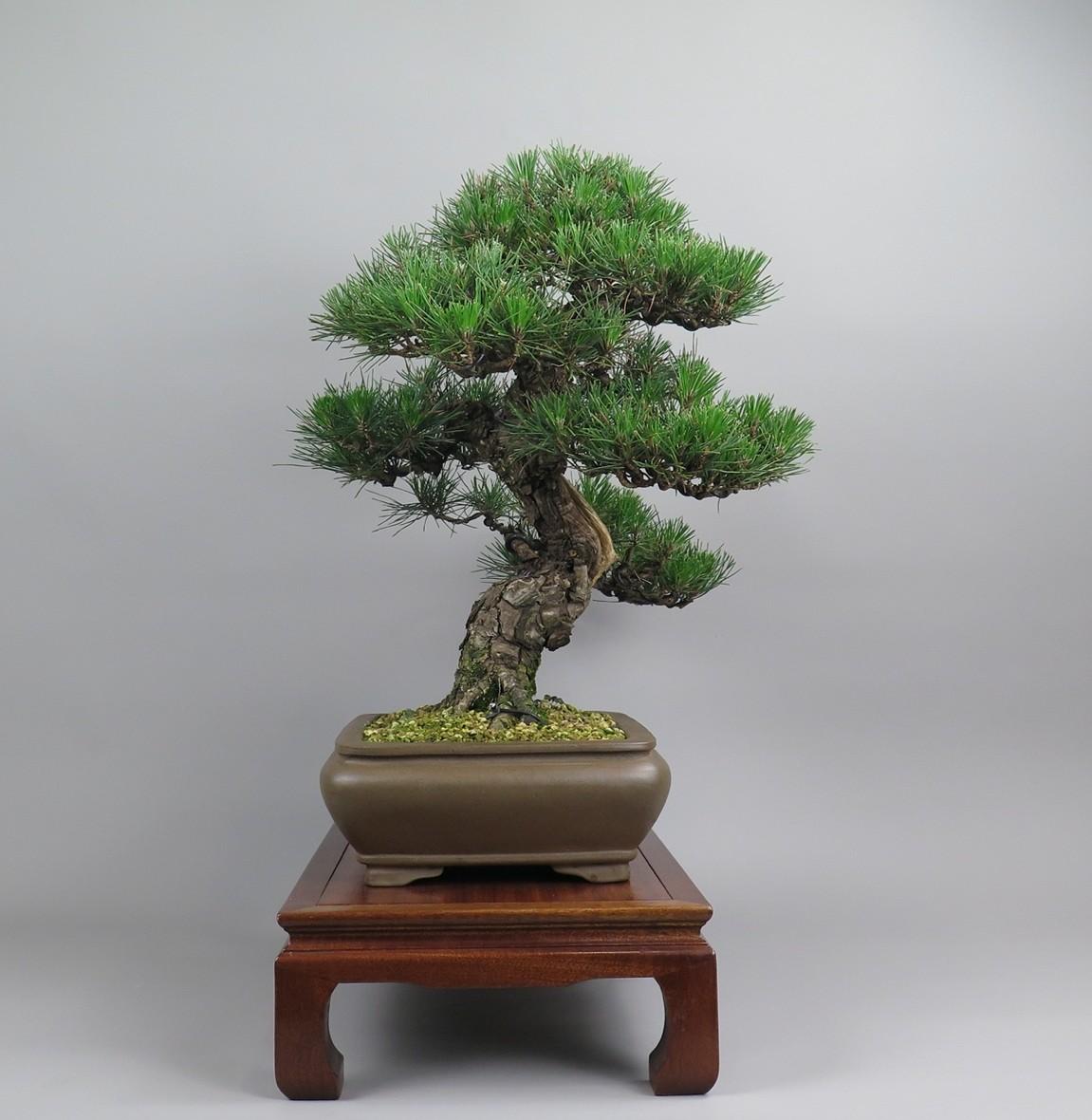Bonsai de Pinus tumbergii, lateral derecho.