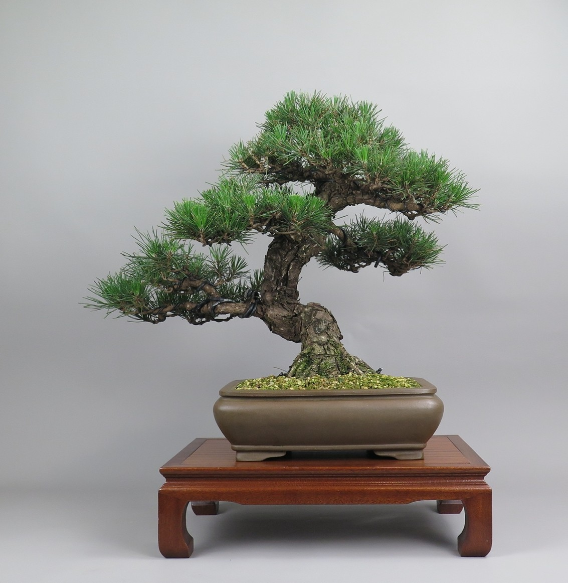 Bonsai de pinus tumbergii, espalda.
