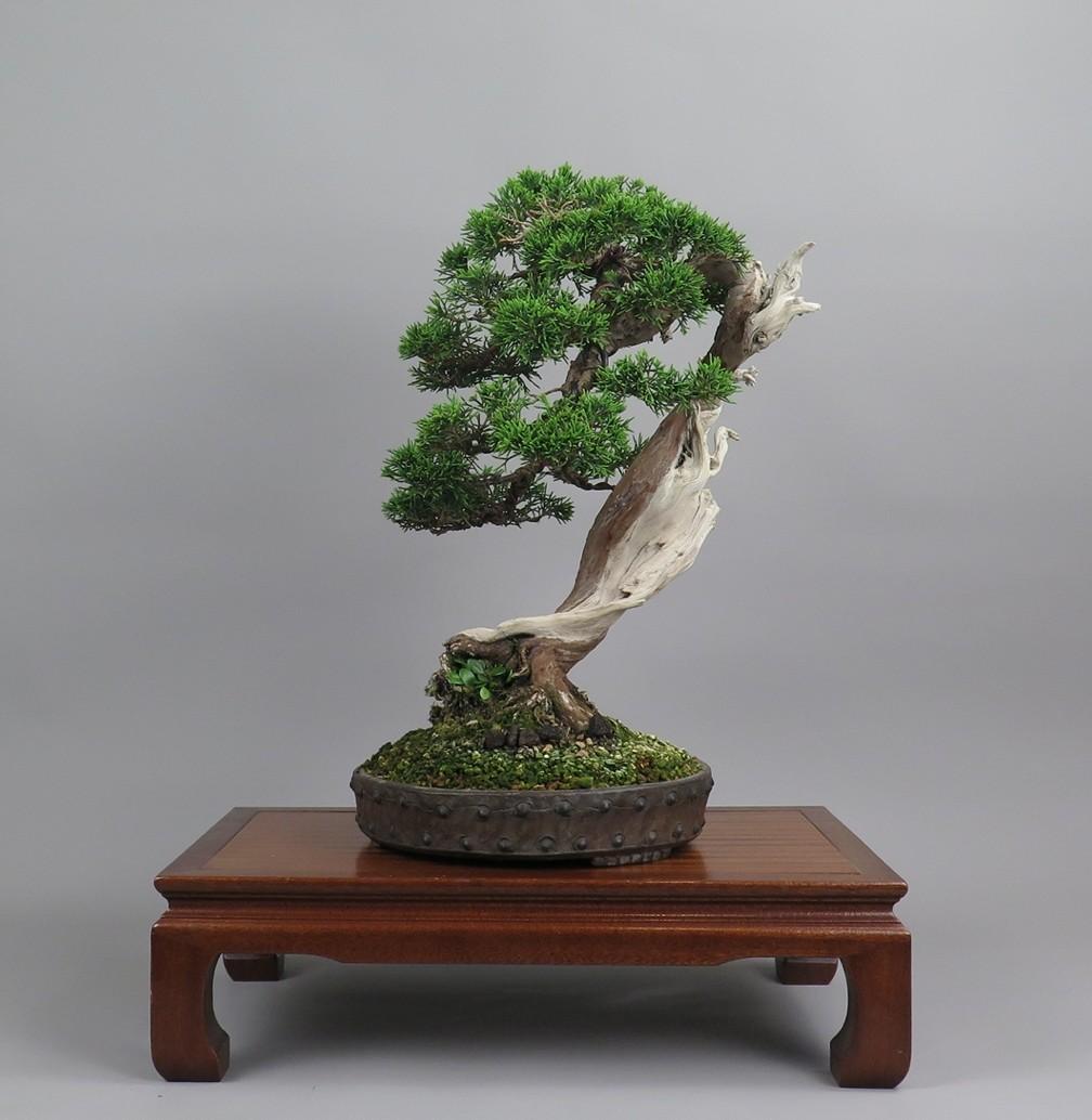 Bonsai juniperus chinensis, espalda