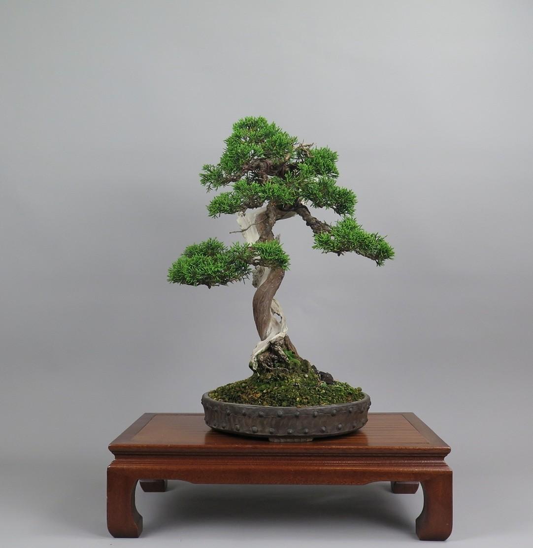 Bonsai juniperus, lateral derecho