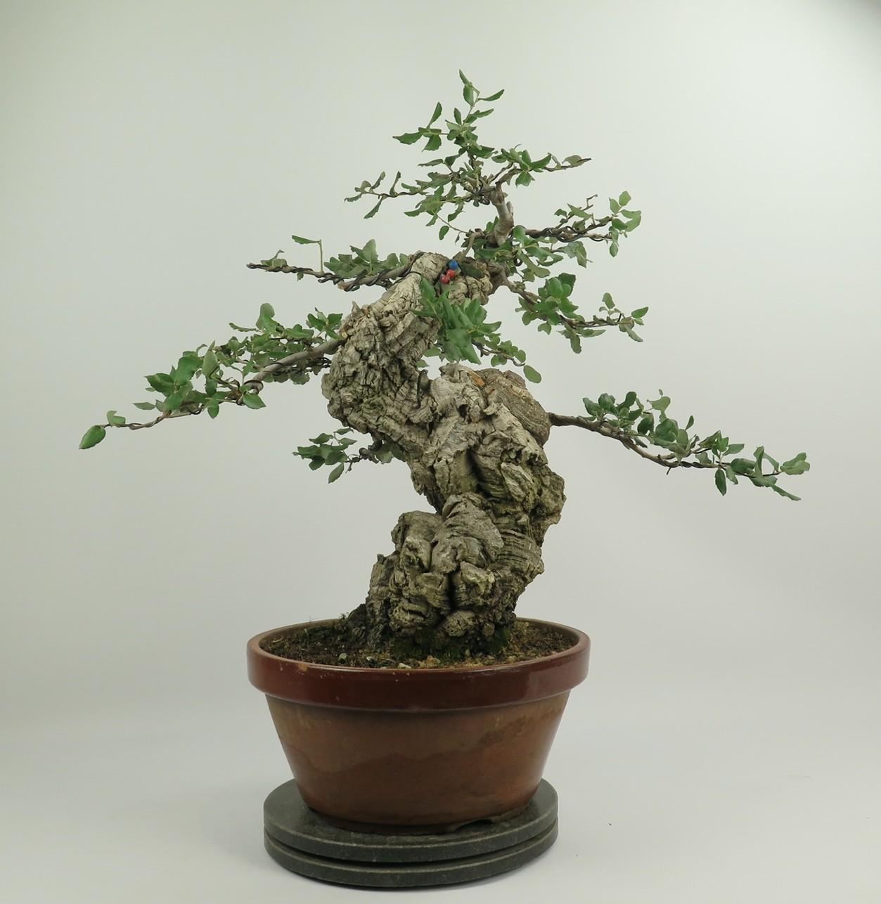 Bonsai de alcornoque, frente