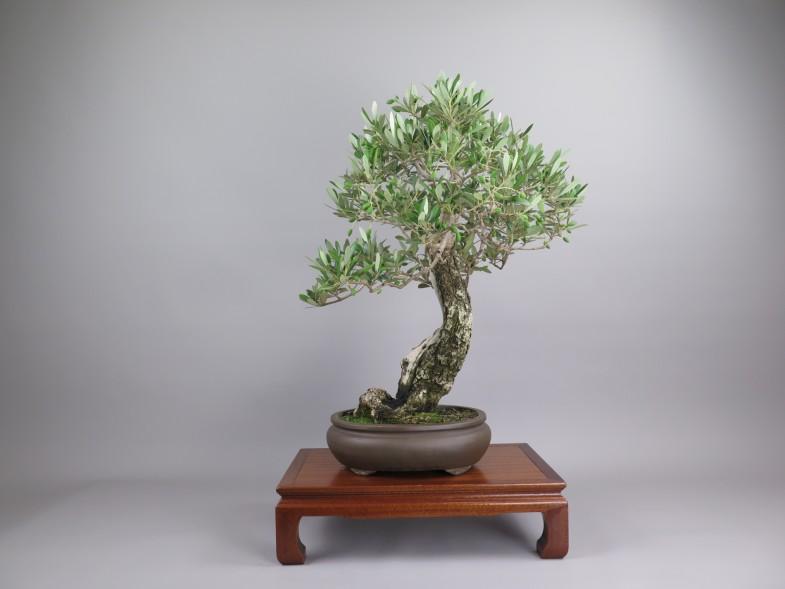 Bonsai de olivo, espalda