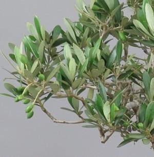 Bonsai de olivo, fruto