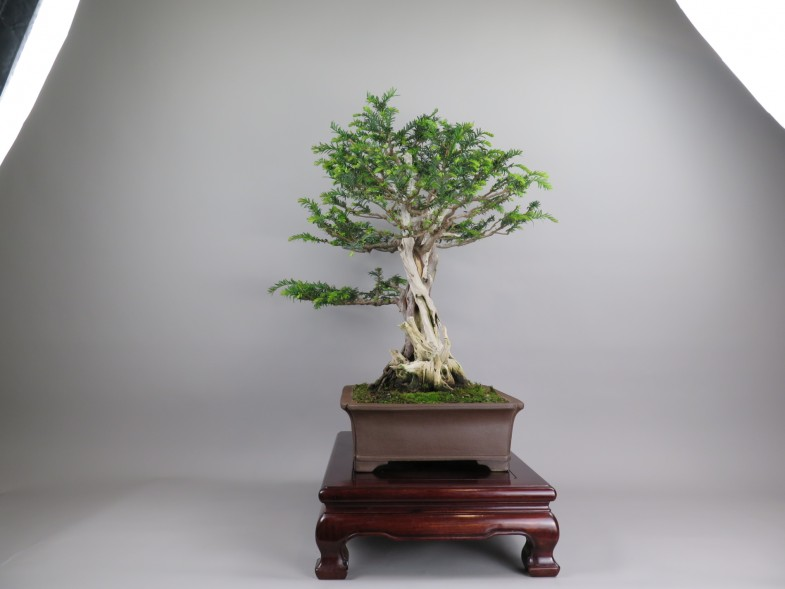 Bonsai de tejo, lateral izquierda