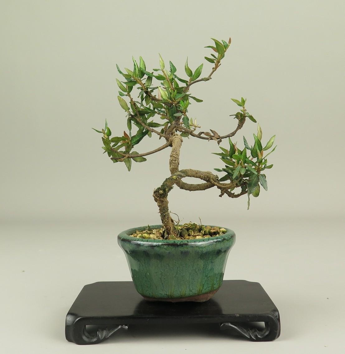 Bonsai de trachelospermum