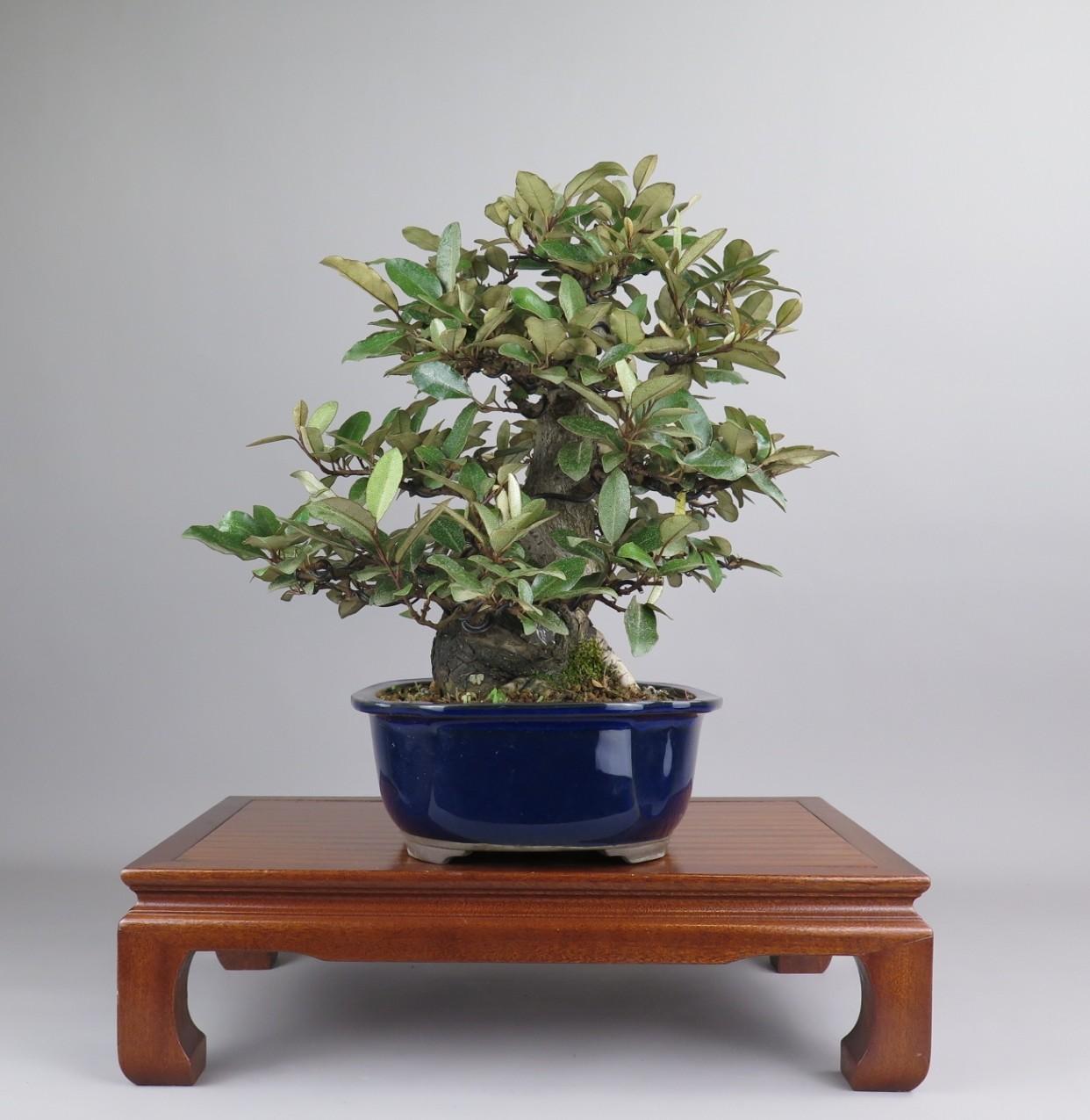 Bonsai de Eleagnus. Lateral derecho.