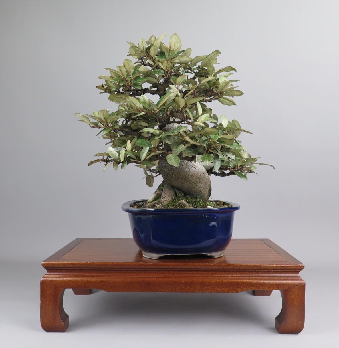 Bonsai de Eleagnus lateral izquierdo