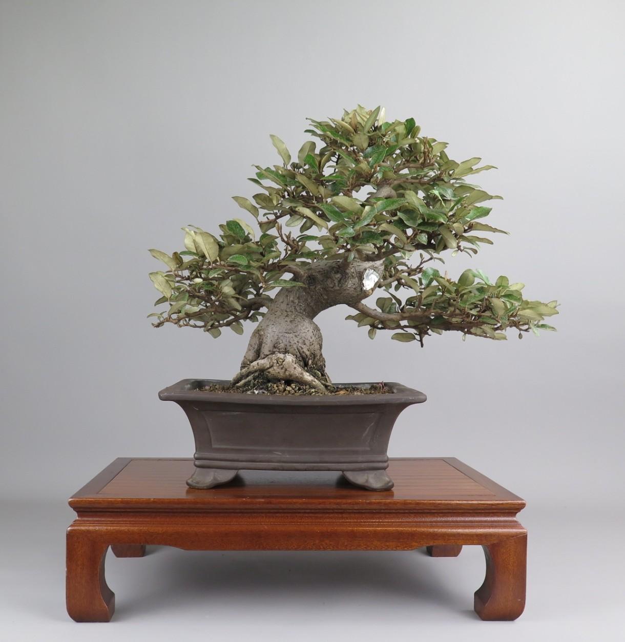 Bonsai de Eleagnus. Espalda