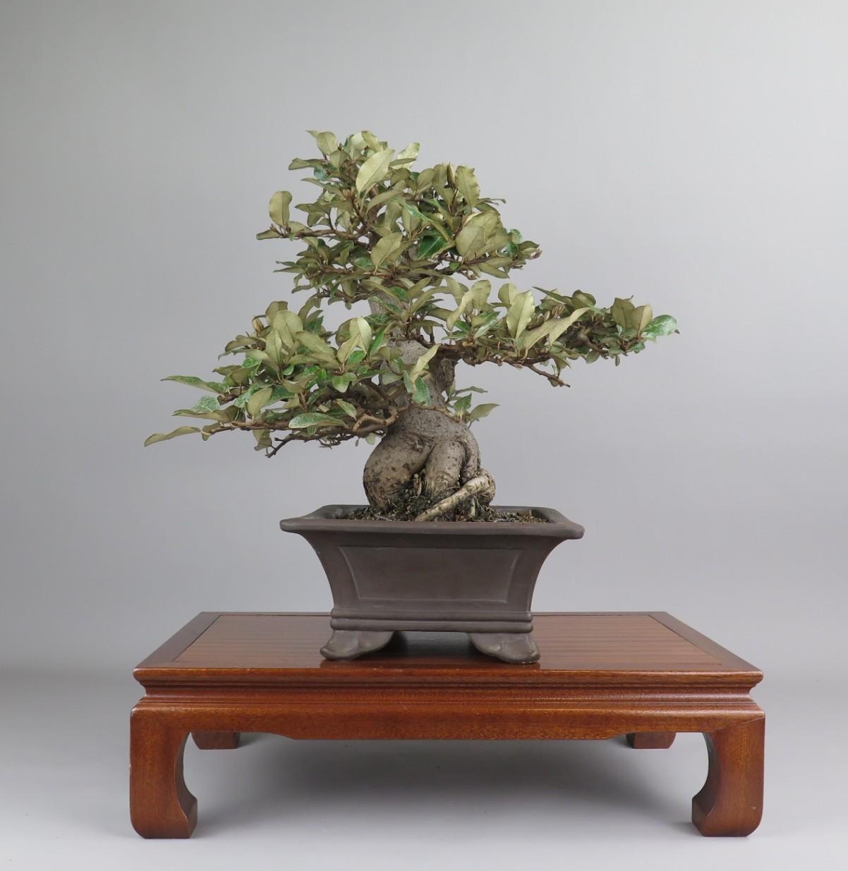 Bonsai de Eleagnus. Lateral izquierdo.