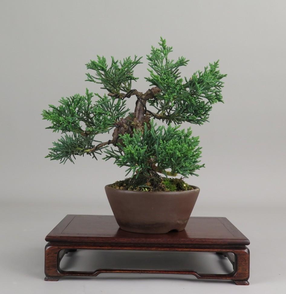 Bonsai de juniperus chinensis, latera derecho