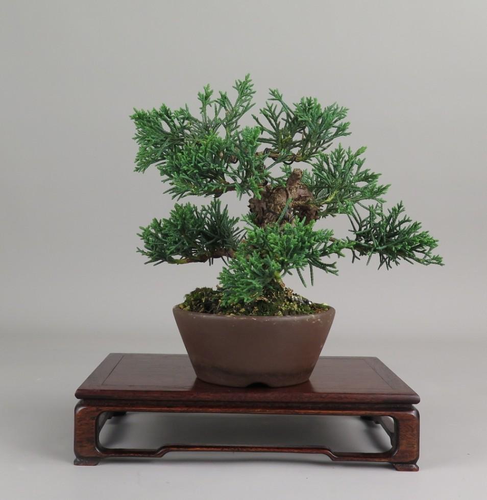 Bonsai de juniperus chinensis, lateral izquuierdo