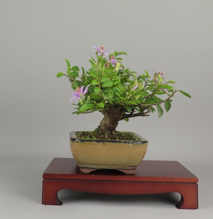 Bonsai de Grewia, lateral izquierdo