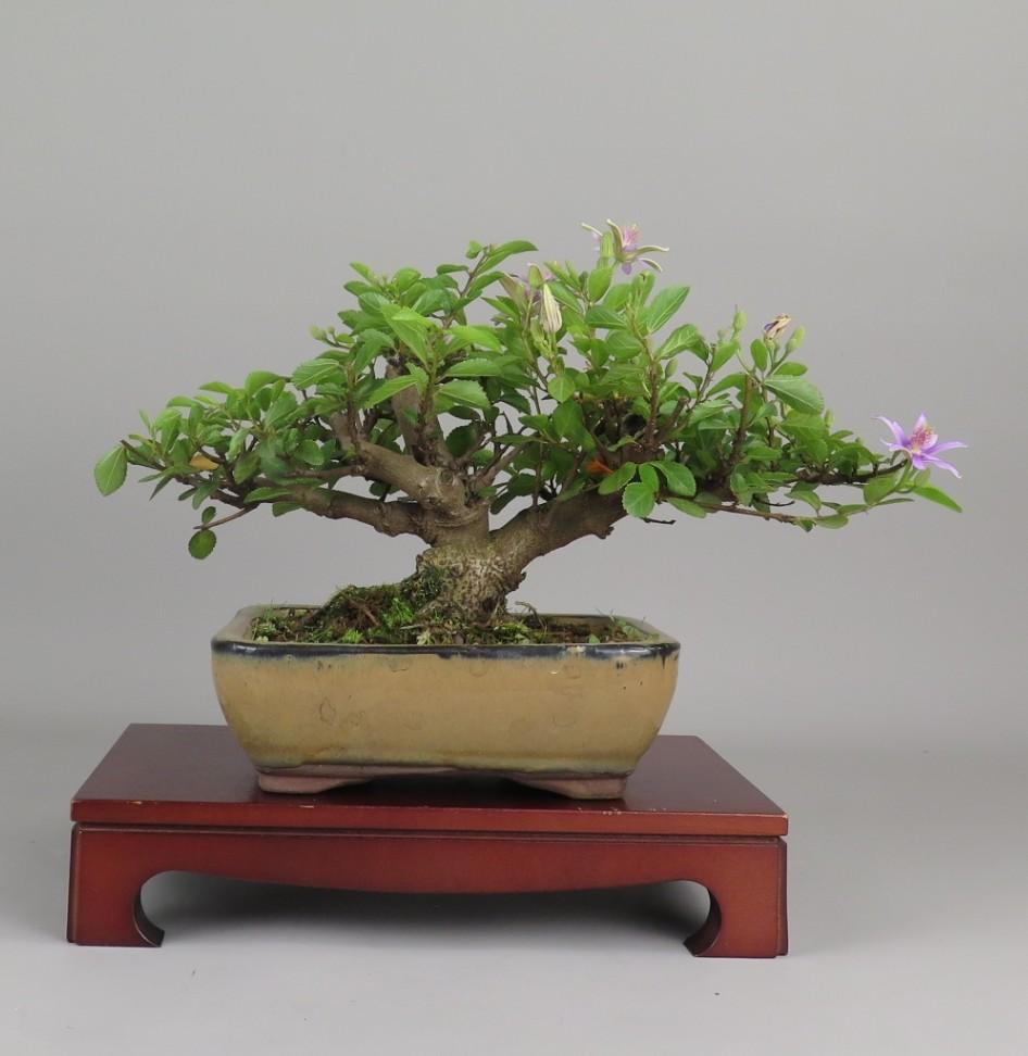 Bonsai de Grewia, espalda.