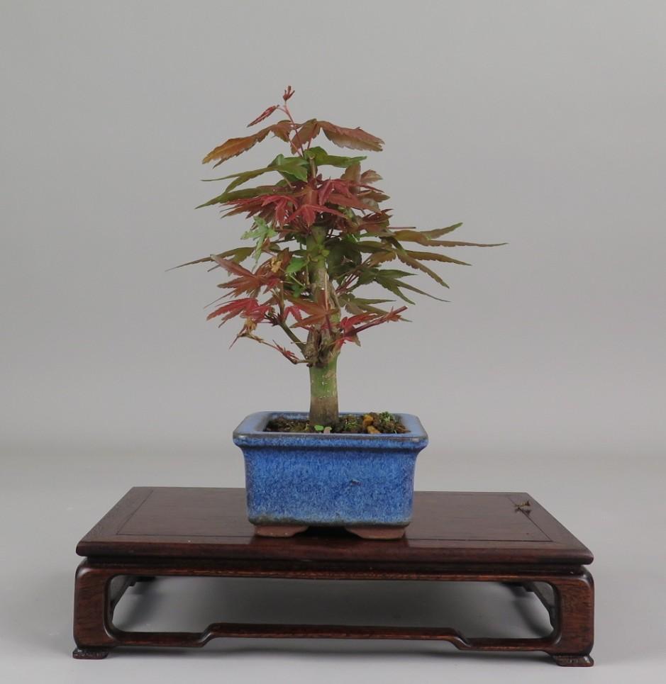 Bonsai de Acer palmatum