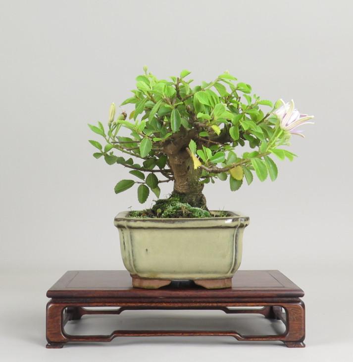 Bonsai de Grewia, lateral derecho