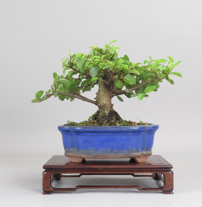 Bonsai de Grewia, espalda