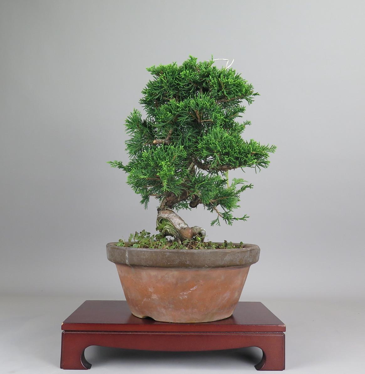 Bonsai de juníperos chinensis