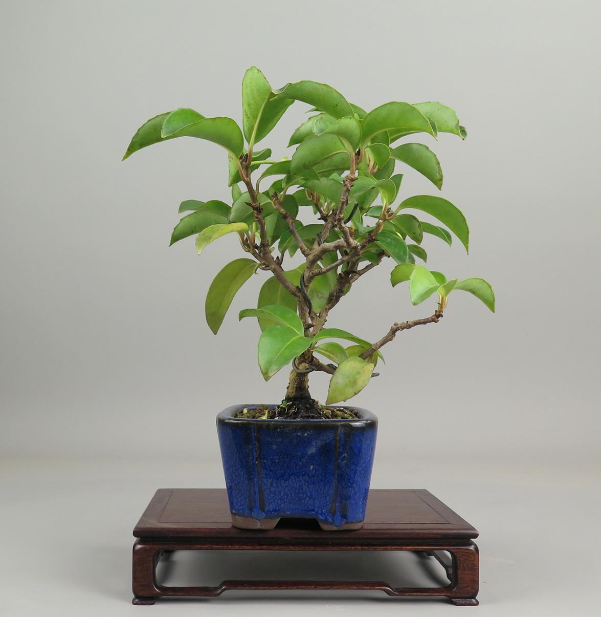 Bonsai de Kadsura