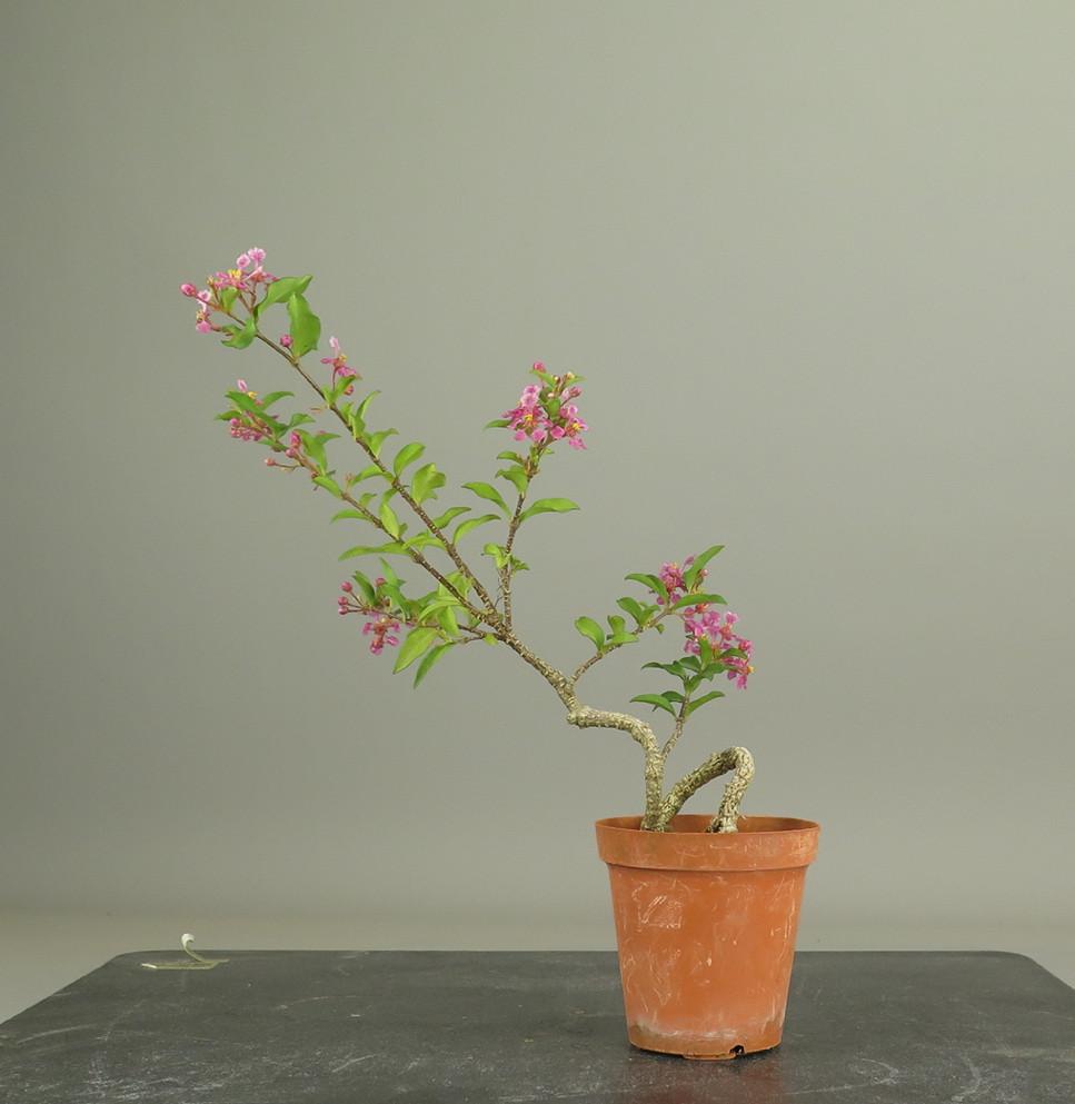 bonsai de Malphigia