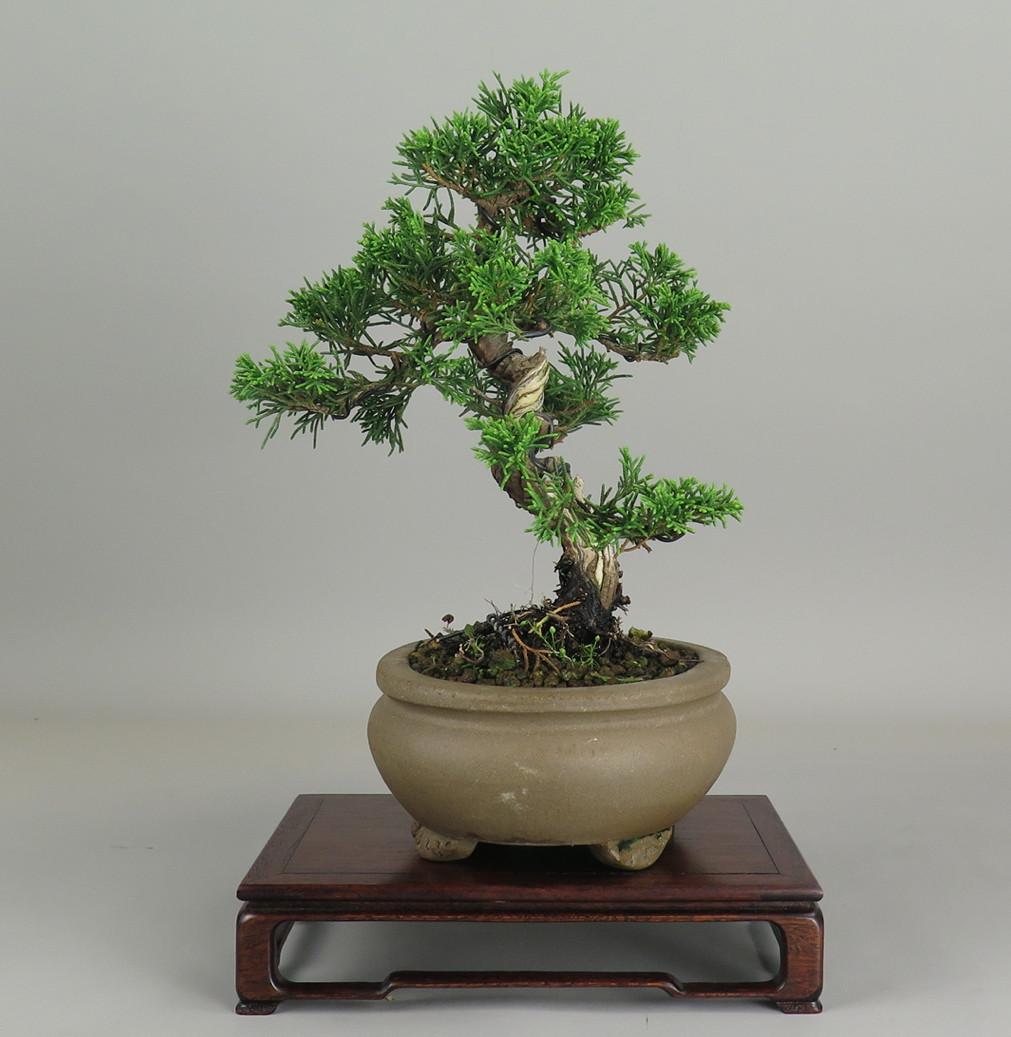 Bonsai de juníperus chinensis