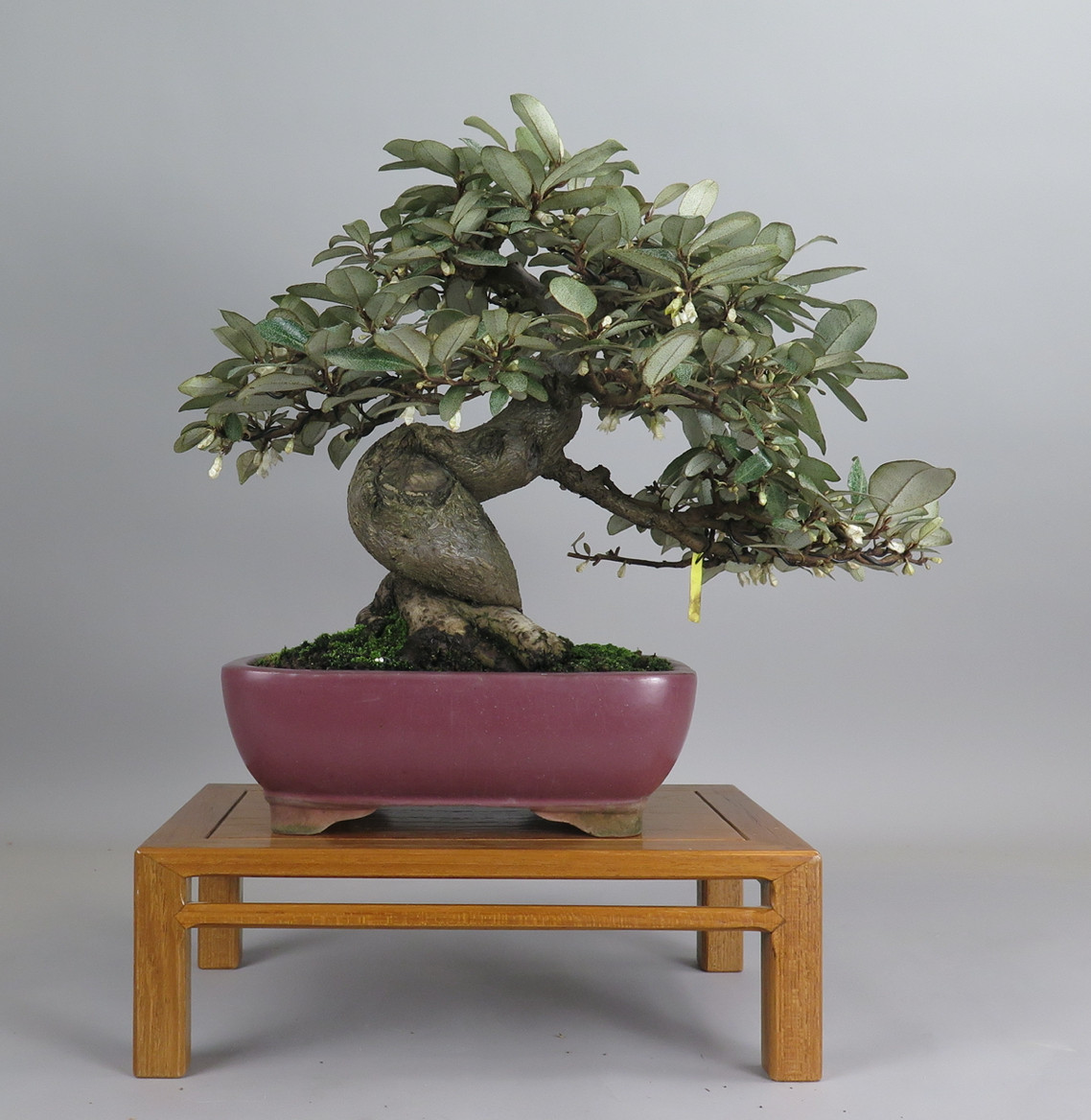 Bonsai de eleagno, espalda