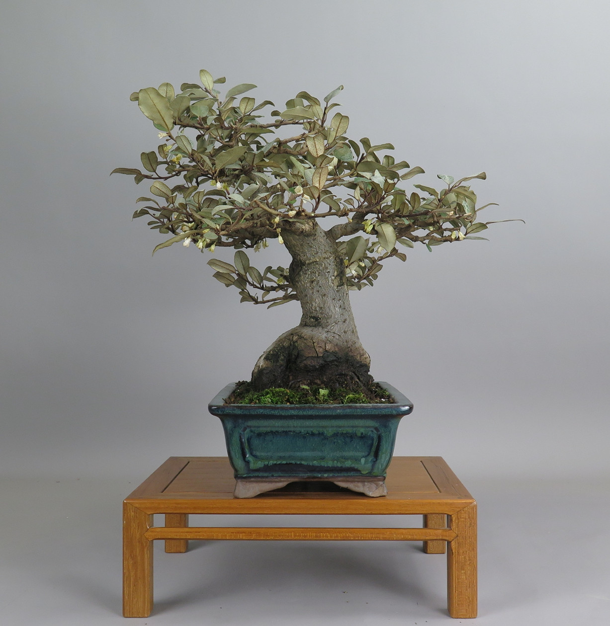 Bonsai de eleagno, lateral izquierdo