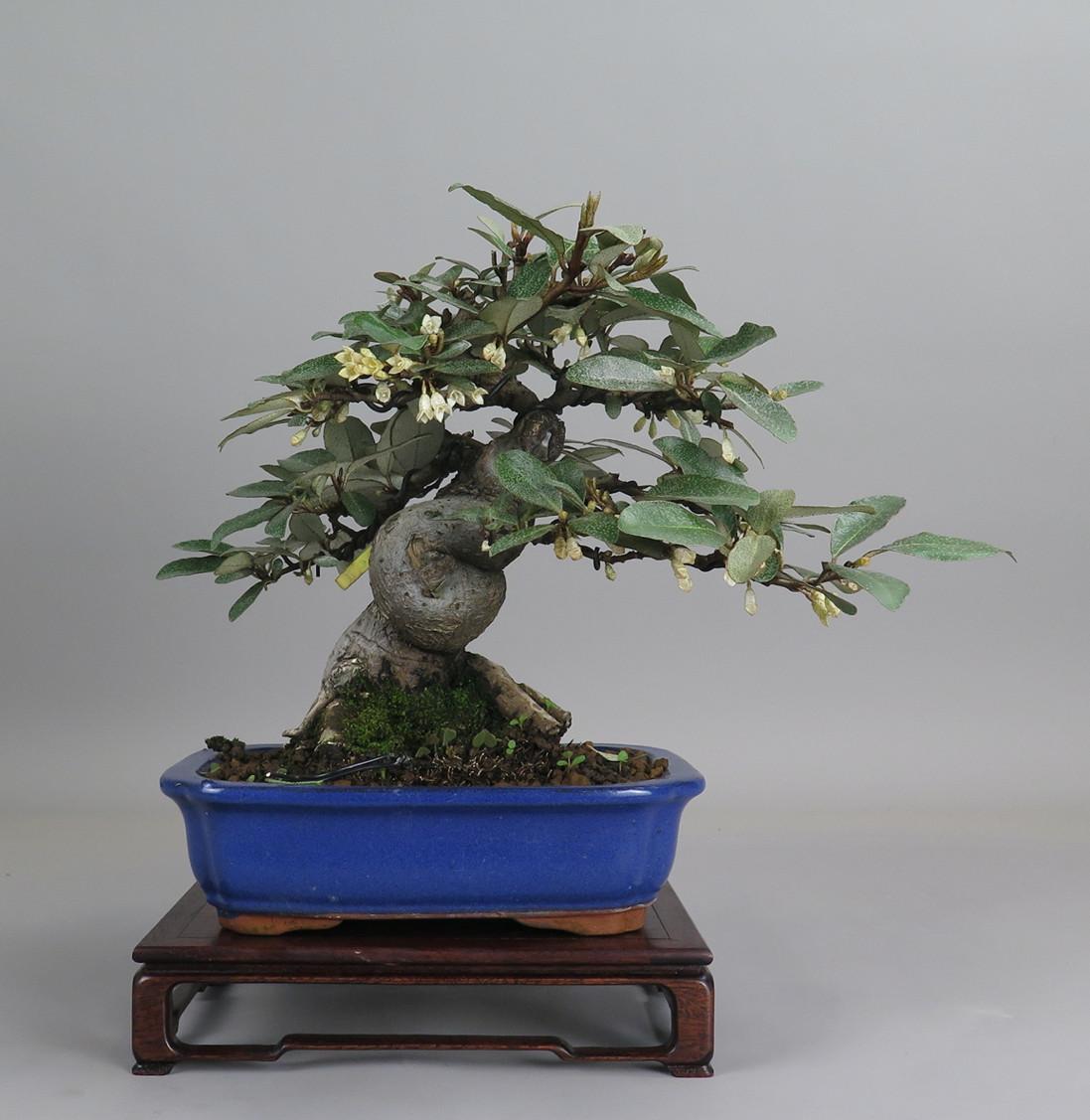 Bonsai de eleagno, frente