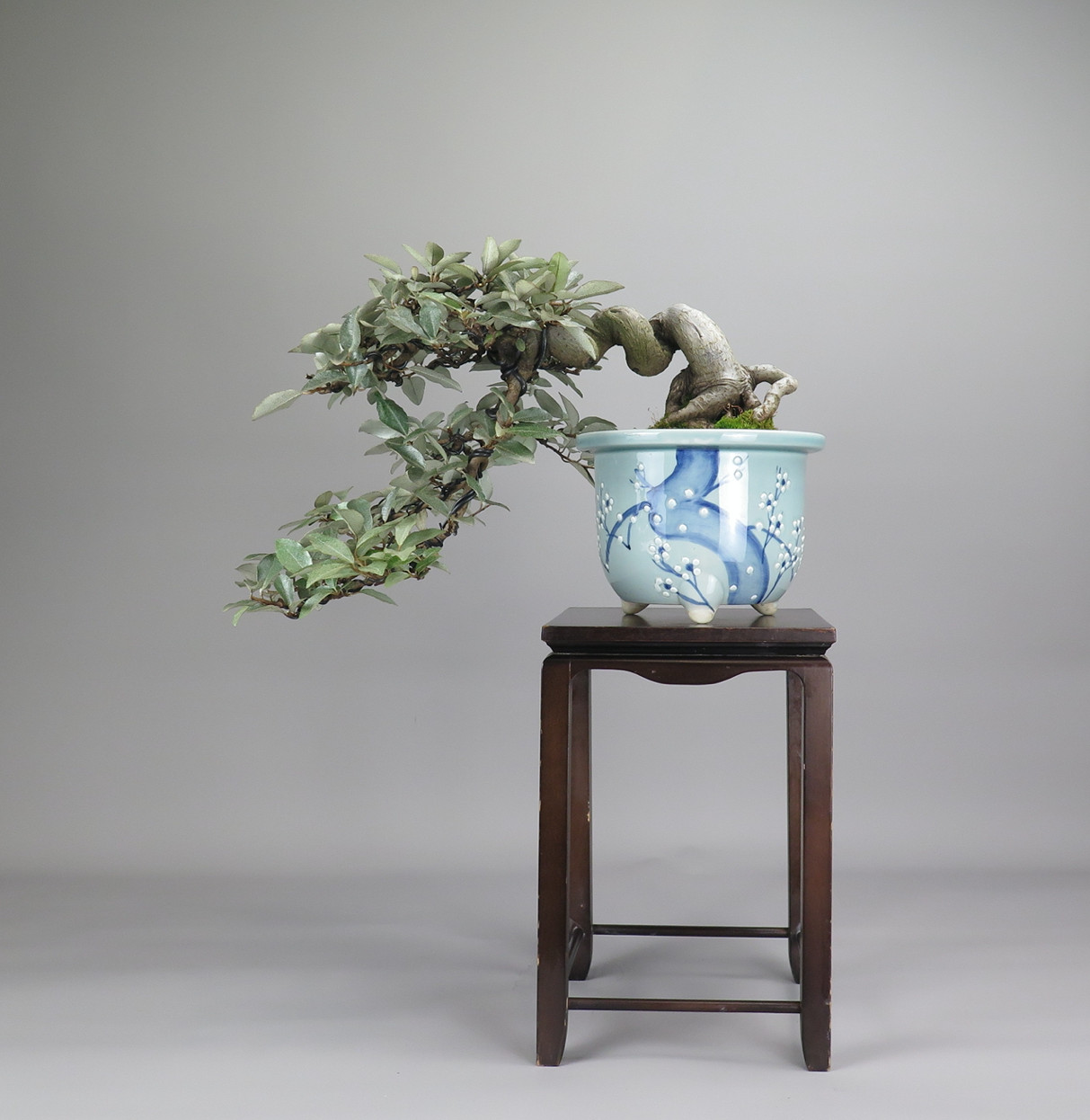 Bonsai de Eleagnus, Frente