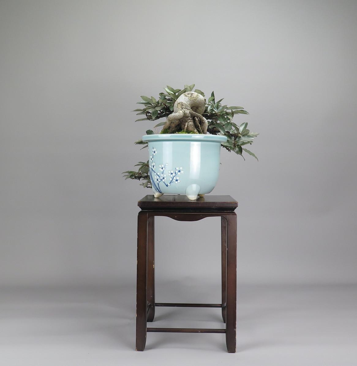 Bonsai de Eleagnus, lateral izquierdo