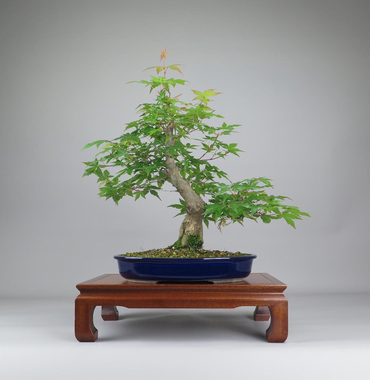 Bonsai de Acer palmatum, frente