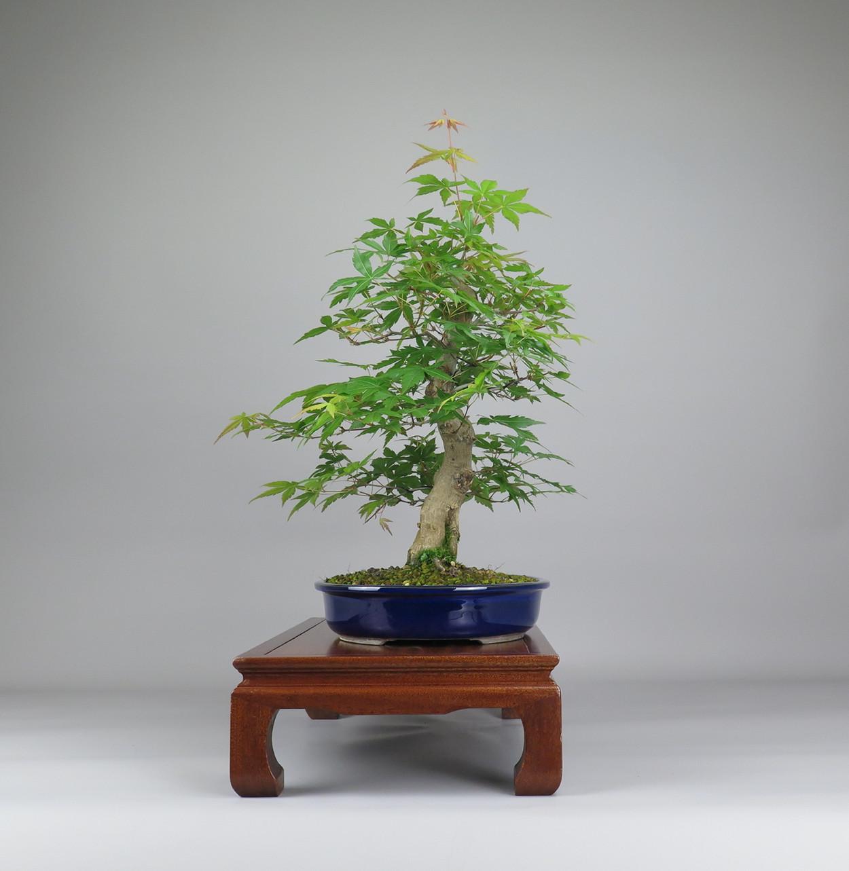 Bonsai de Acer palmatum, lateral derecho