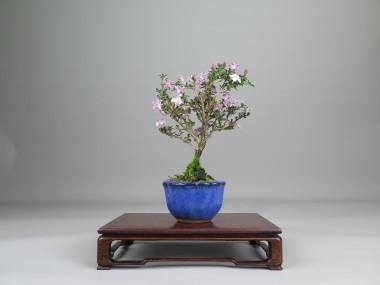 Bonsai de Serisa, frente