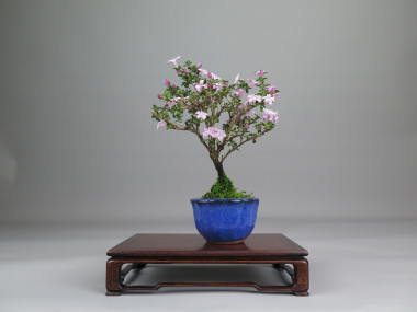 Bonsai de Serisa, espalda