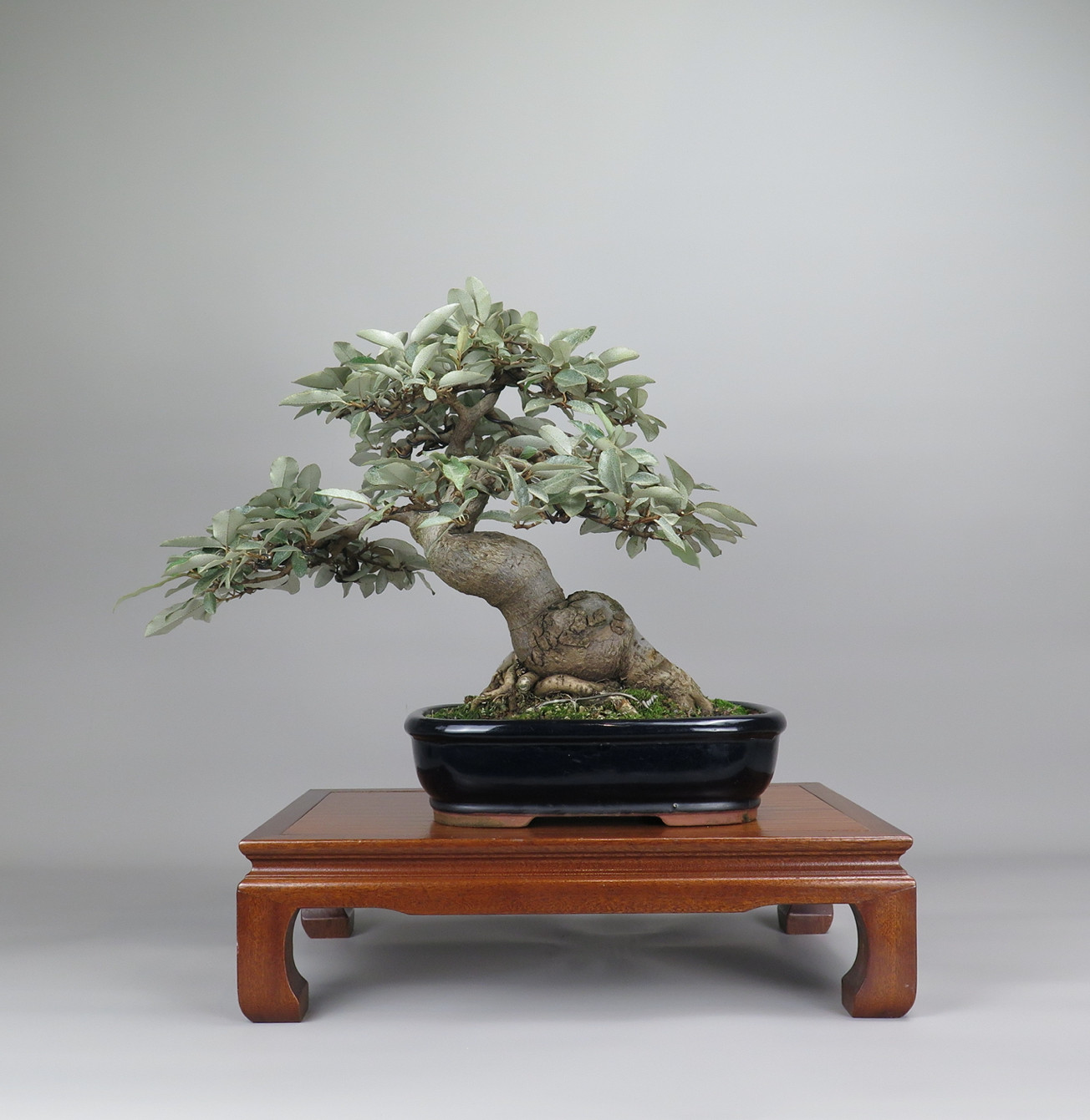 Bonsai de Eleagnus, espalda