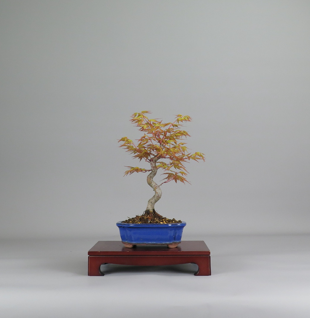 Acer palmatum katsura, espalda