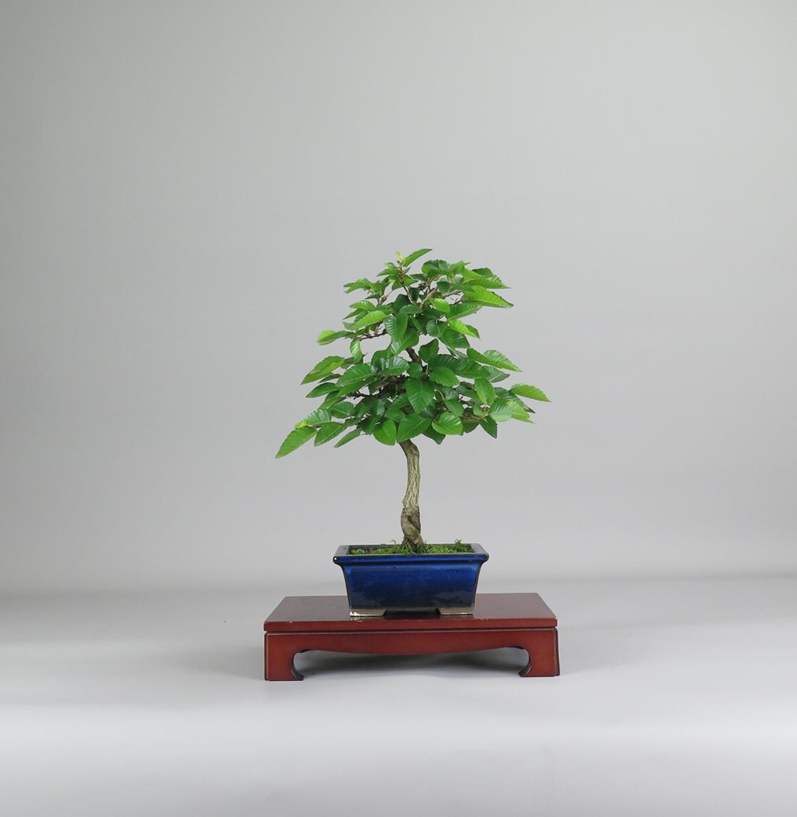 bonsai de carpe coreano , frente