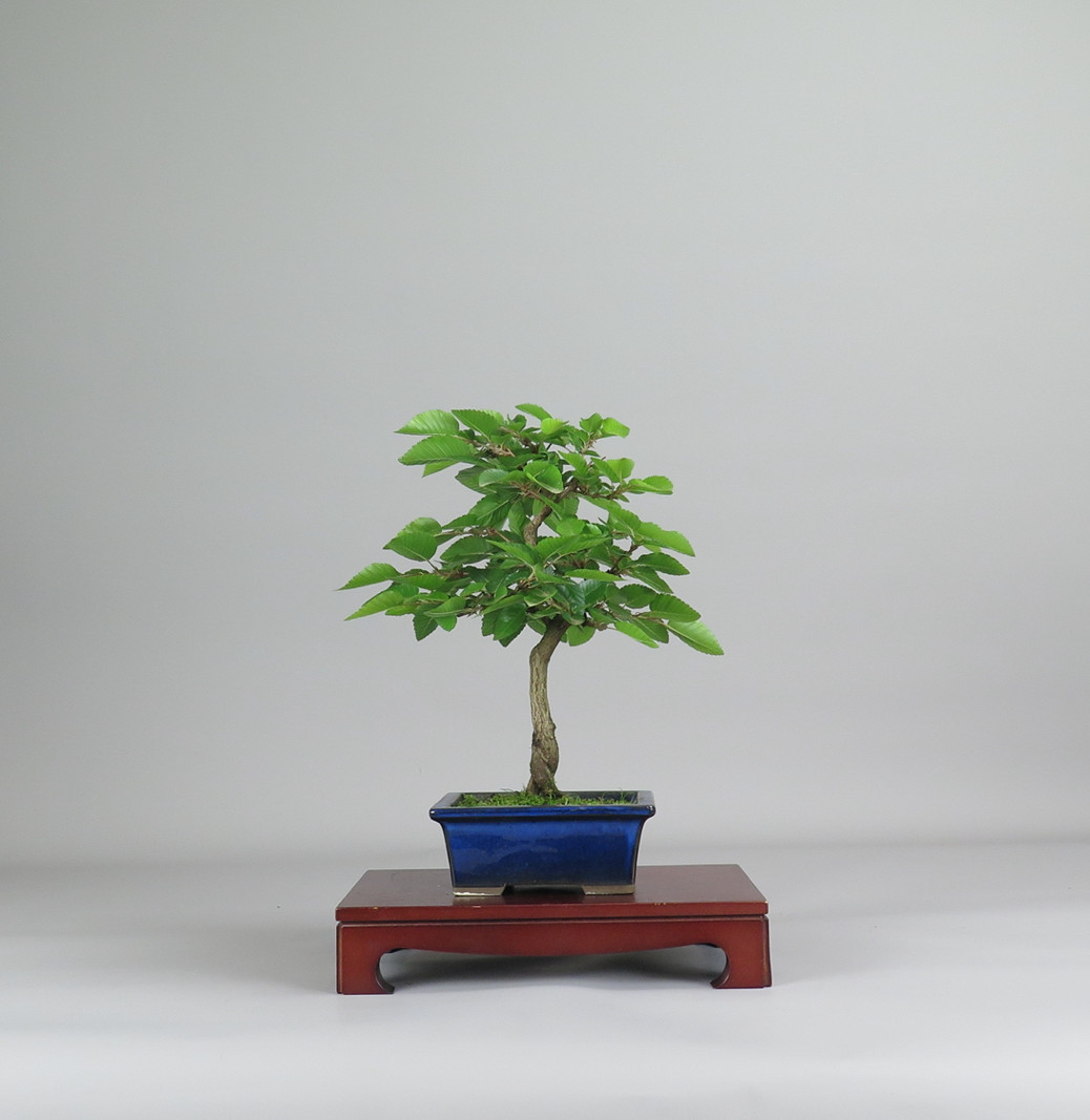 Bonsai de carpe coreano , espalda