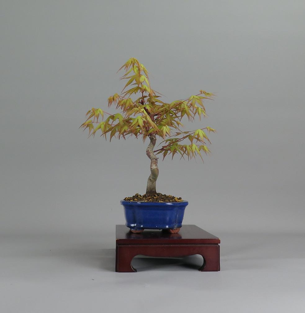 Acer palmatum katsura, lateral