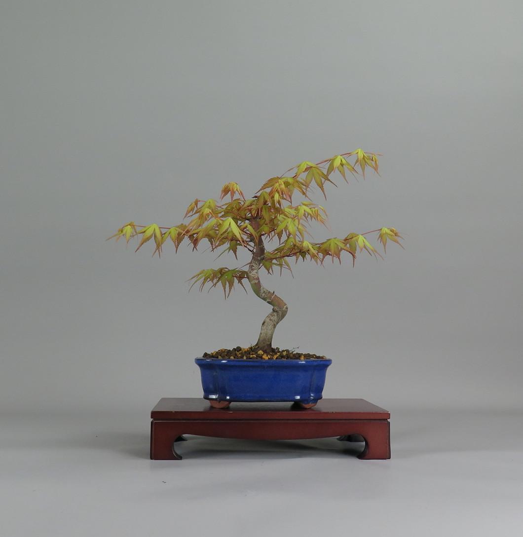 Acer palmatum katsura, frente