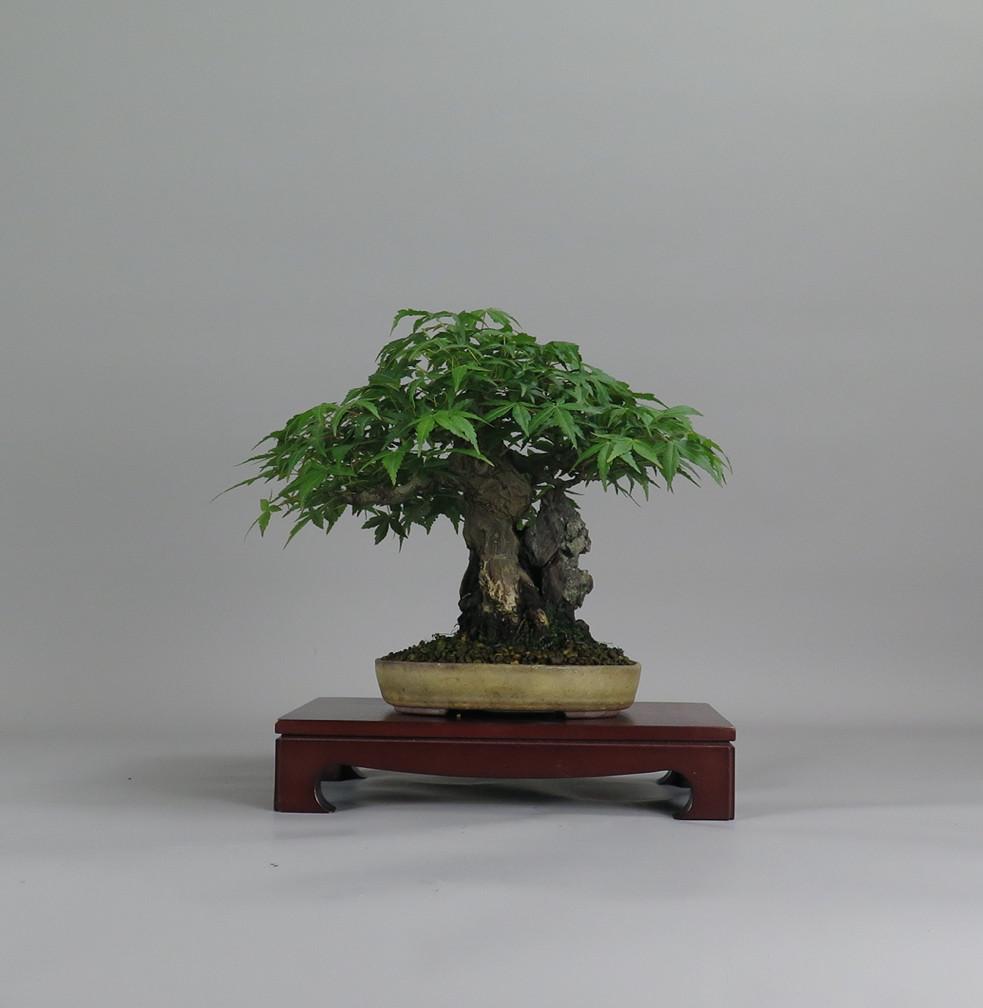 Acer palmatum, frente