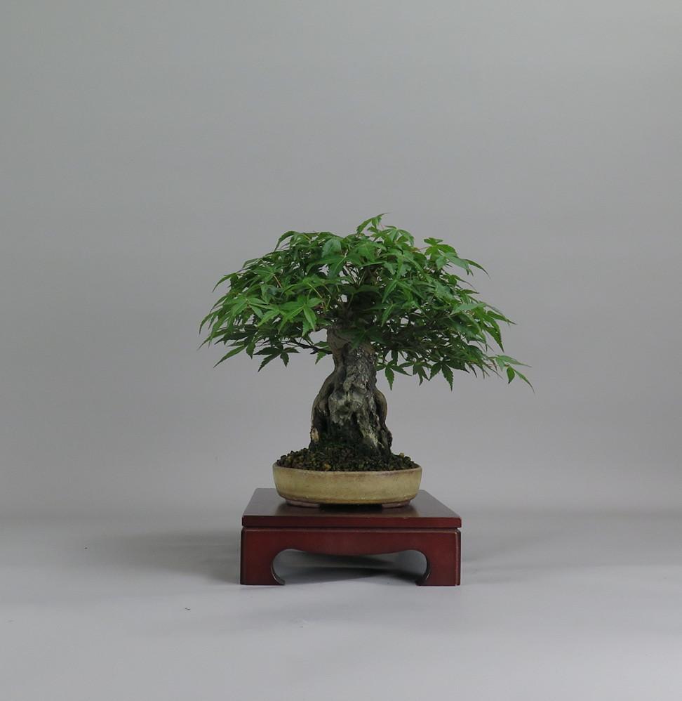 Acer palmatum, lateral