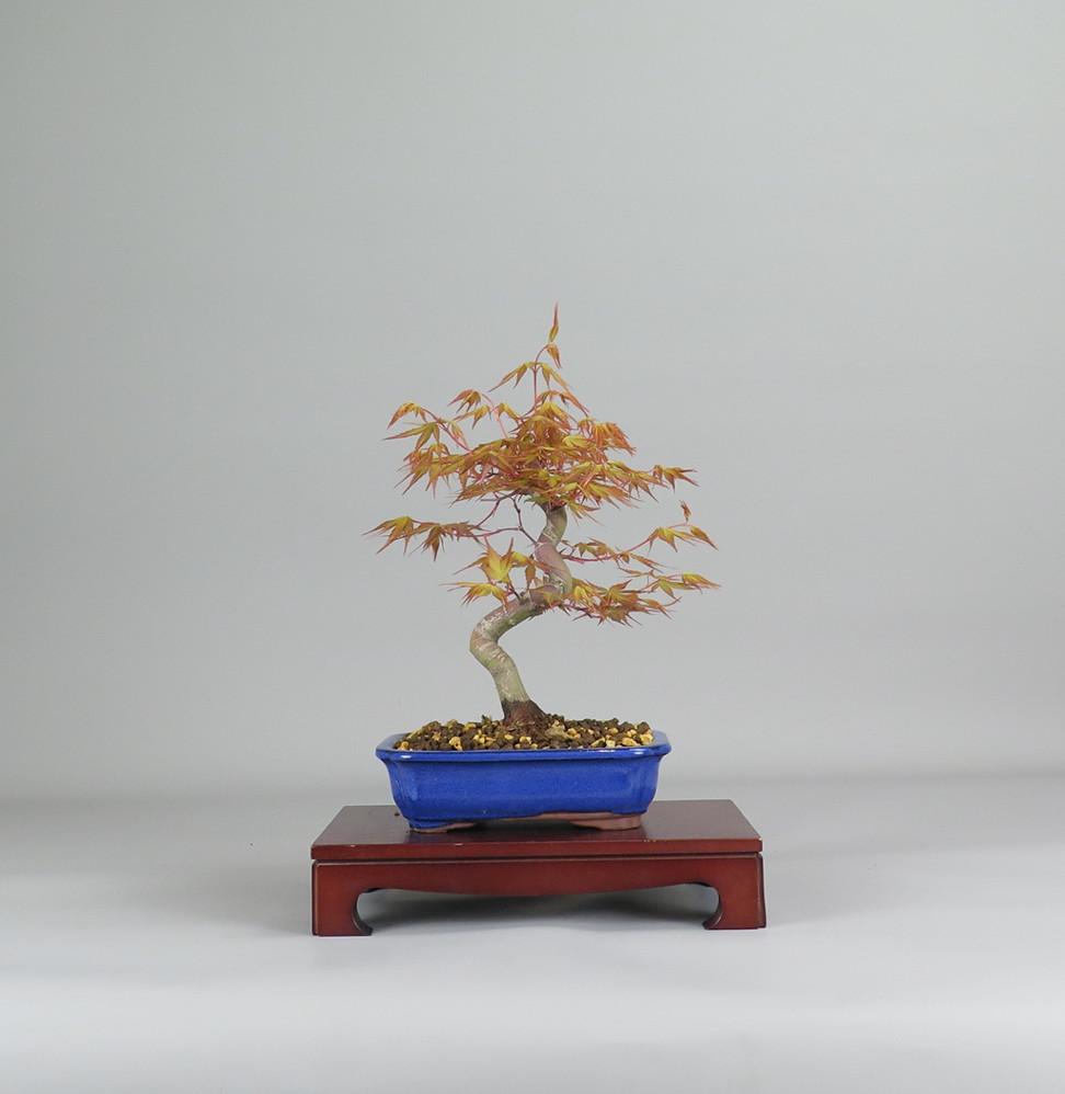 Bonsai de Acer palmatum katsura, frente