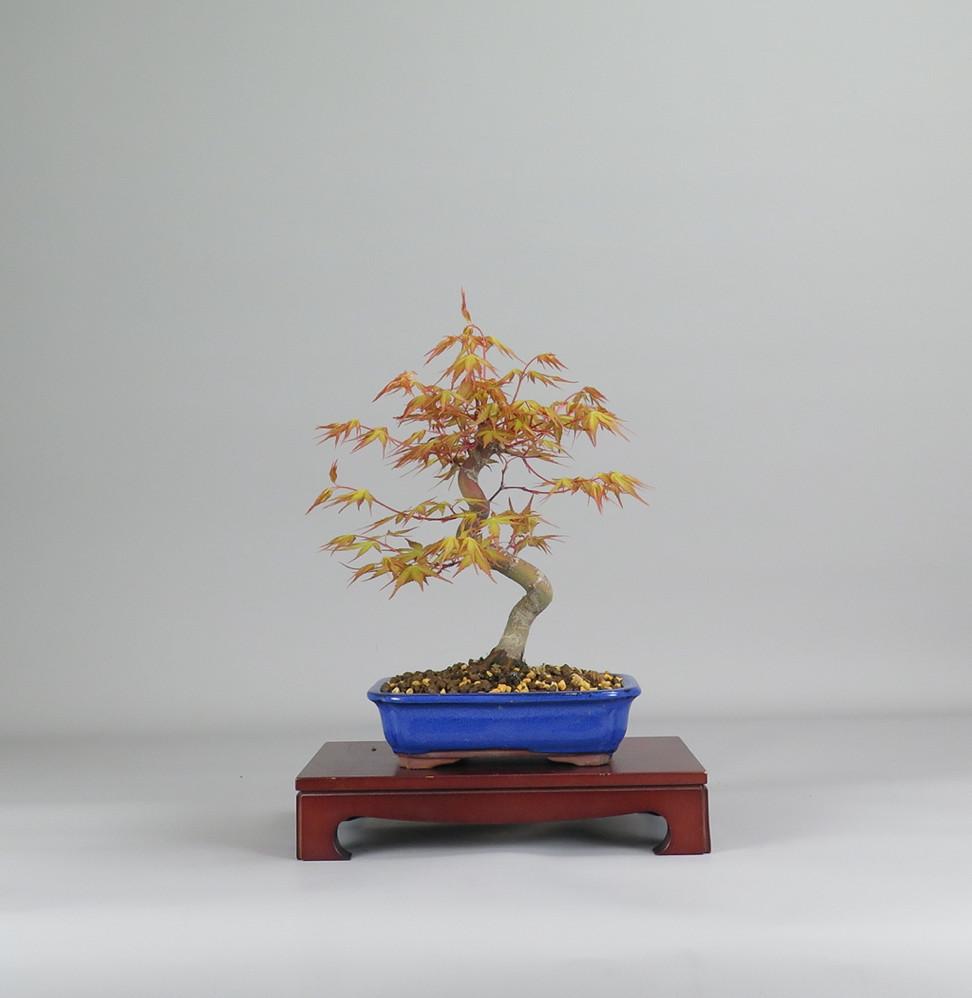 Bonsai de Acer palmatum katsura, espalda