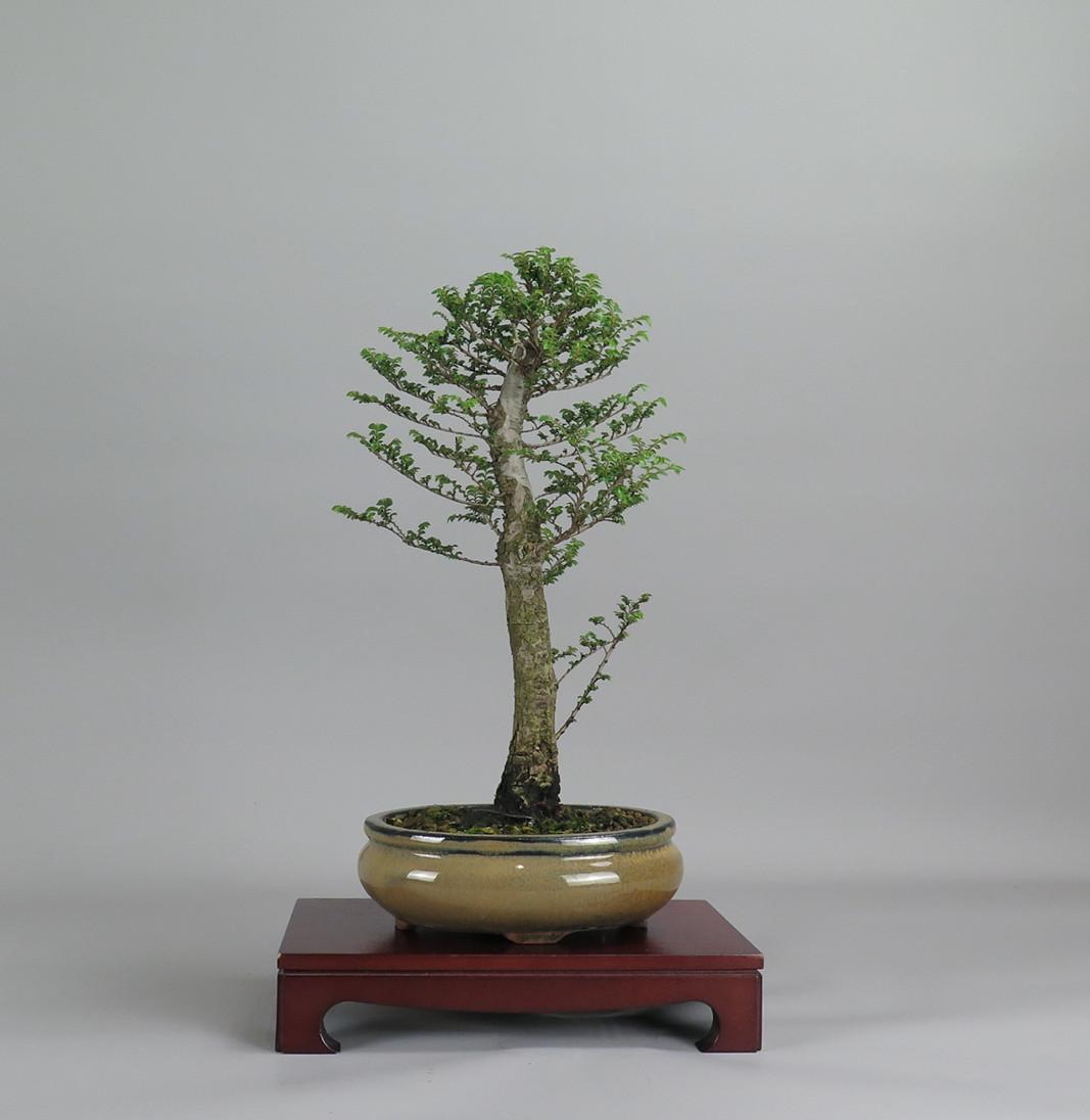 Ulmus parviflora hokkaido, espalda
