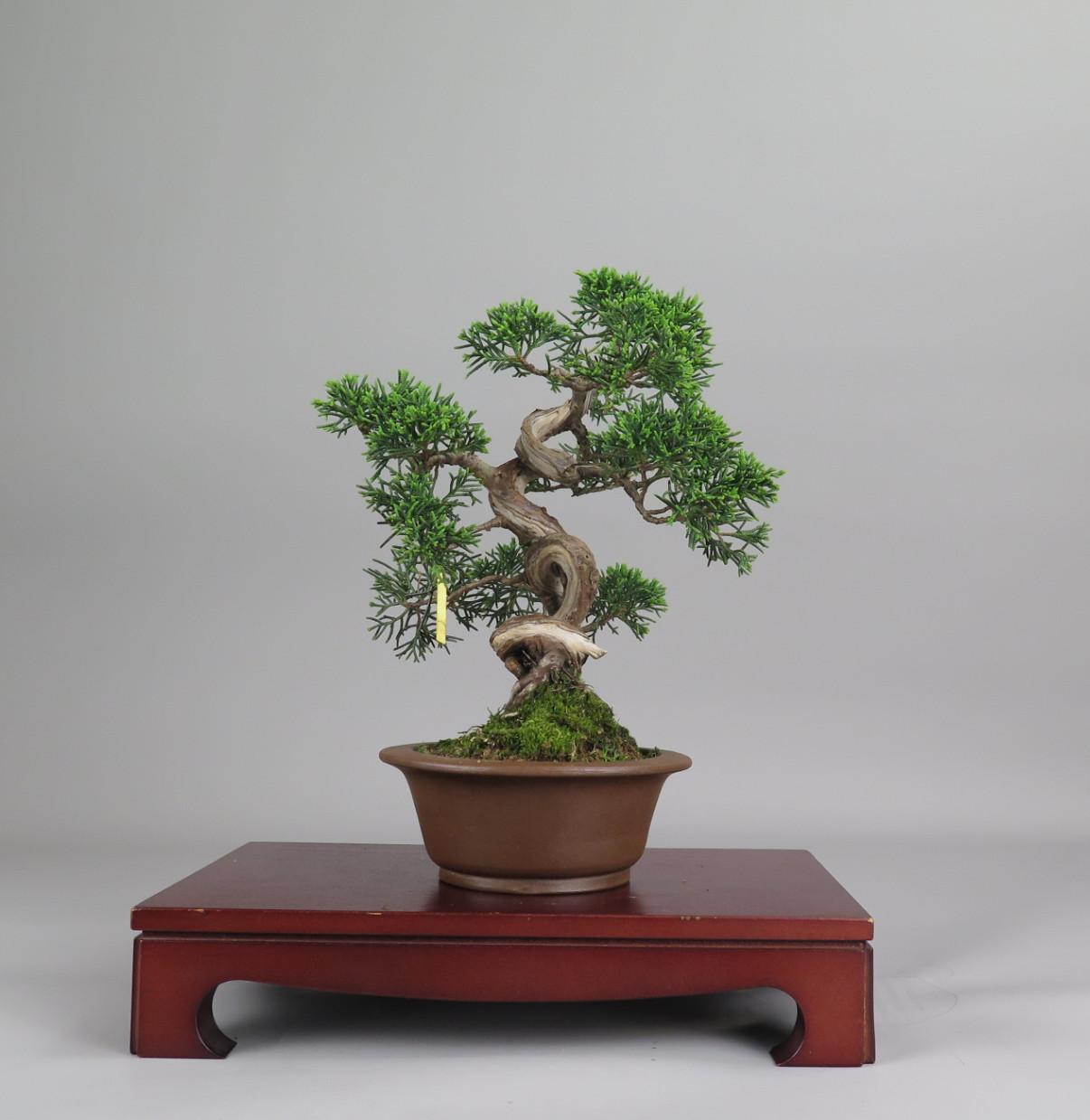 Bonsai de juniperus chinensis,
