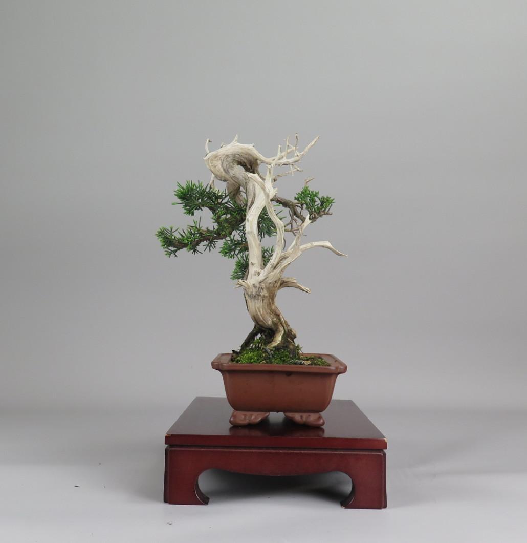 Bonsai de juniperus chinensis, lateral izquierdo