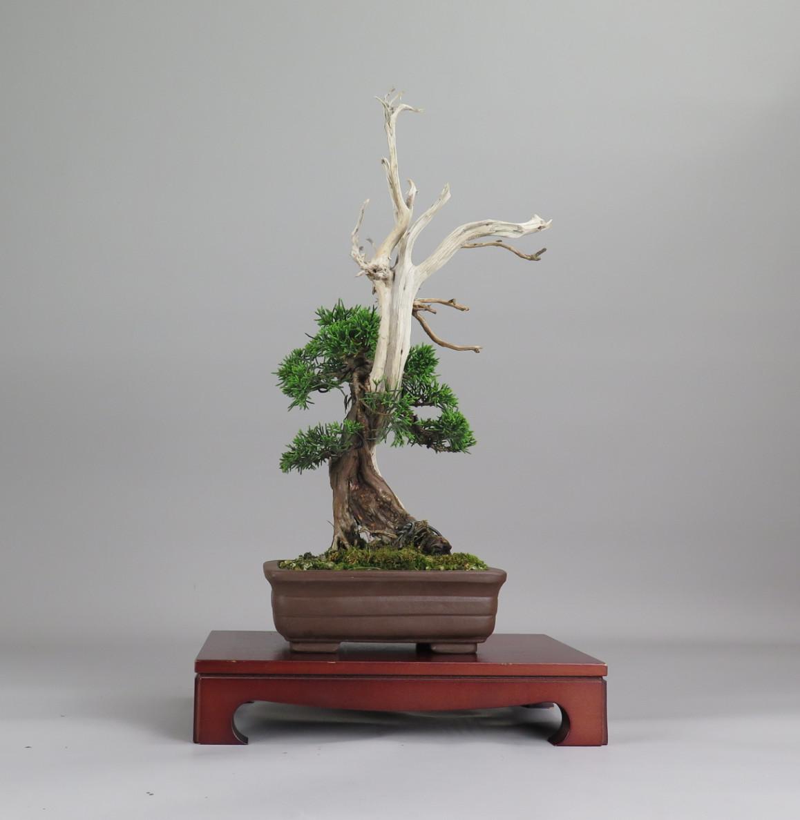 Bonsai de juniperus chinensis, espalda