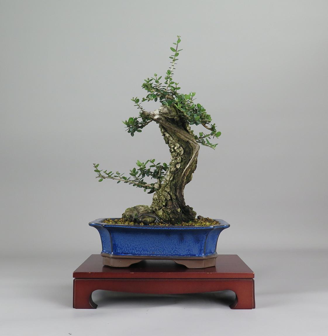 Bonsai de olivo, frente
