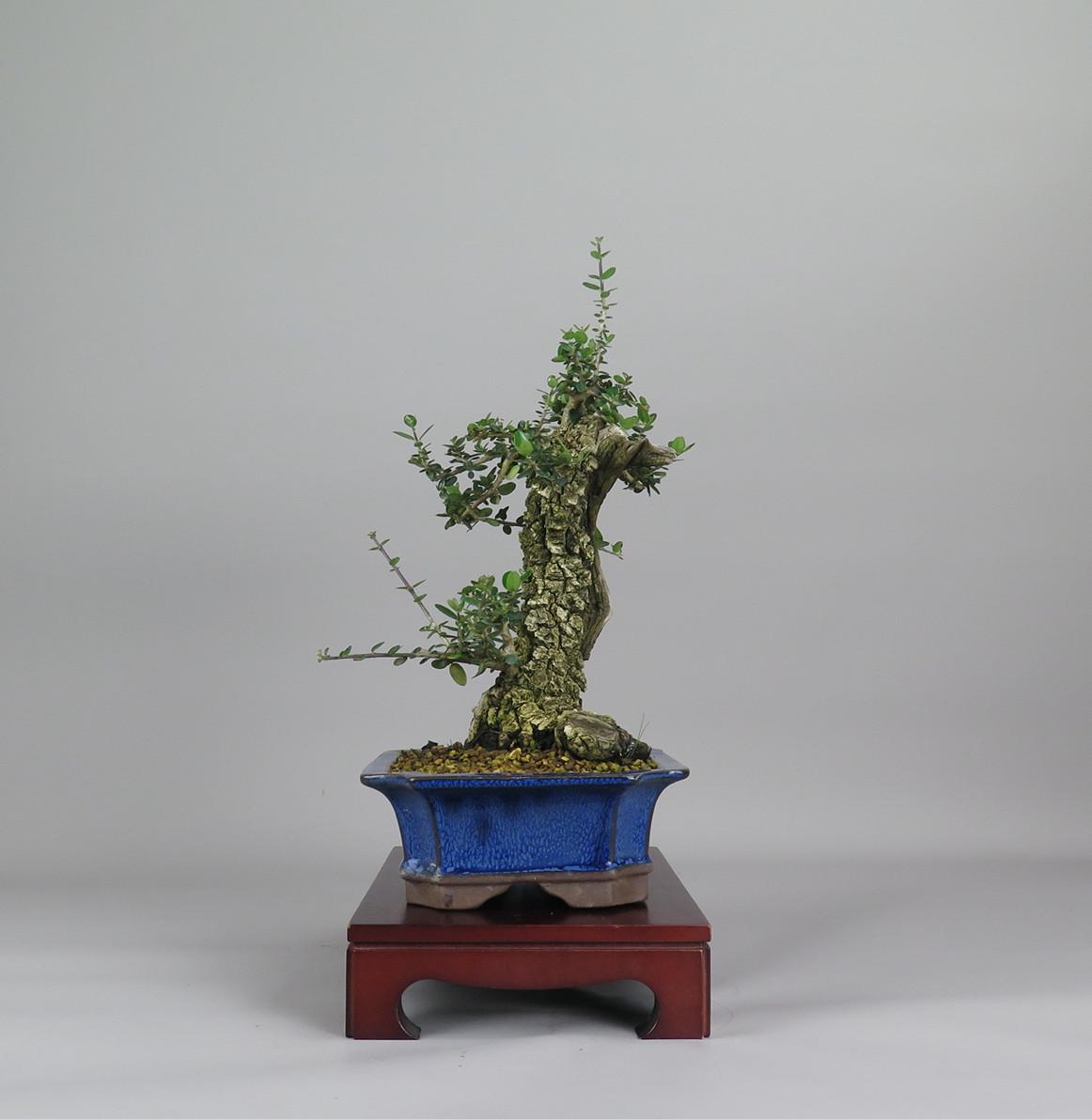 Bonsai de olivo, lateral derecho